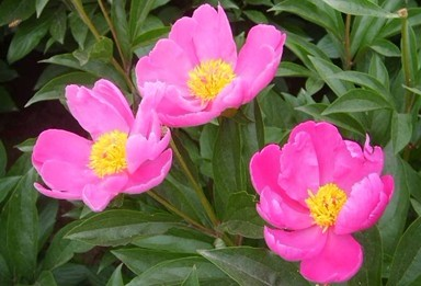 Paeonia sterniana Fletcher in Journ